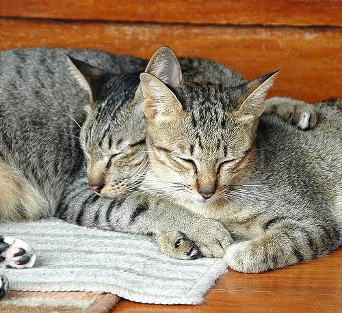 p_gatos