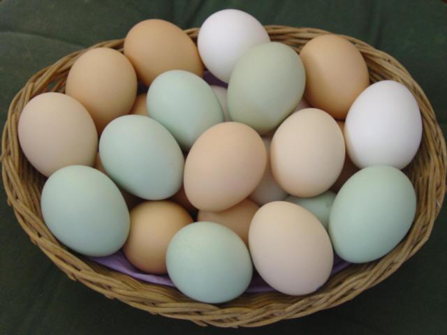 Alquilar gallinas
